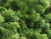 Organic Neem Oil Органик эфирное Масло Ним 100% натуральное холодного отжима, Австралия