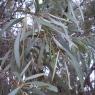 Масло Эвкалиптовое дезинфицирующее,антибактериальное 100% натурально свежее , 25мл, 100мл Австралия