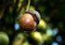 Масло Макадамия косметическое 100% натуральное, холодного отжима, Австралия