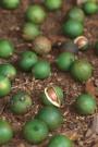 Масло Орехов Макадамия массажное и косметическое 100% натуральное, холодного отжима, Австралия
